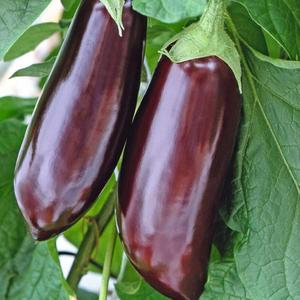 Aubergine, Early Long Purple, frø