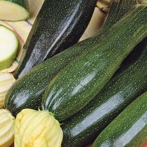 Courgette /squash /zucchini Black Beauty, frø