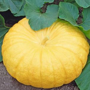 Græskar, Yellow Pumpkin, Jaune de Paris, frø