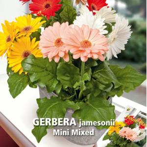 Gerbera, Mini mixed, frø