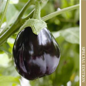 Aubergine, Black Beauty, frø